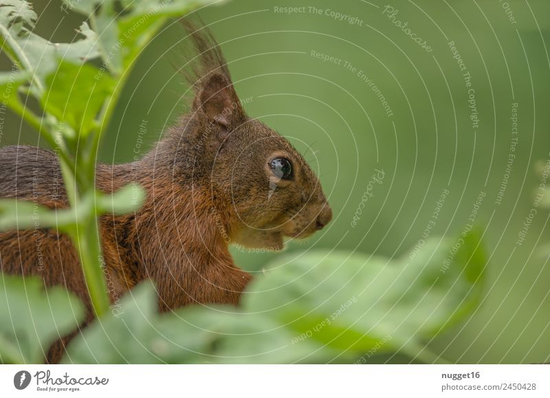 Squirrel III Environment Nature Animal Spring Summer Autumn Climate Beautiful weather Plant Bushes Foliage plant Garden Park Meadow Forest Wild animal