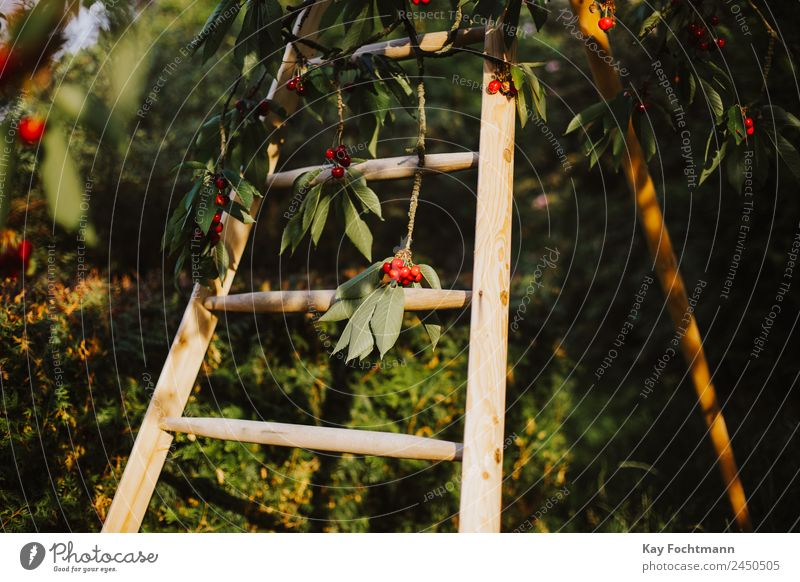 Ladder on a tree full of sweet cherries Fruit Cherry Cherry tree Organic produce Vacation & Travel Summer Summer vacation Nature Plant Beautiful weather Tree