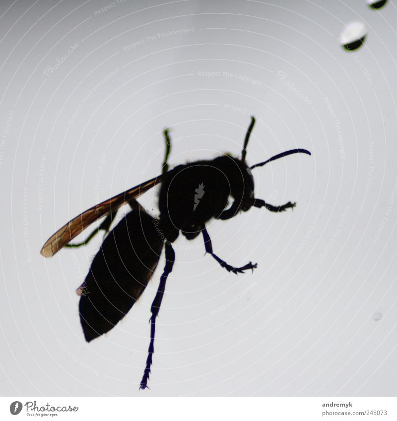 hornet Hornet Animal Insect Back-light Close-up Window Black Gray Isolated Image Copy Space top Shadow Silhouette