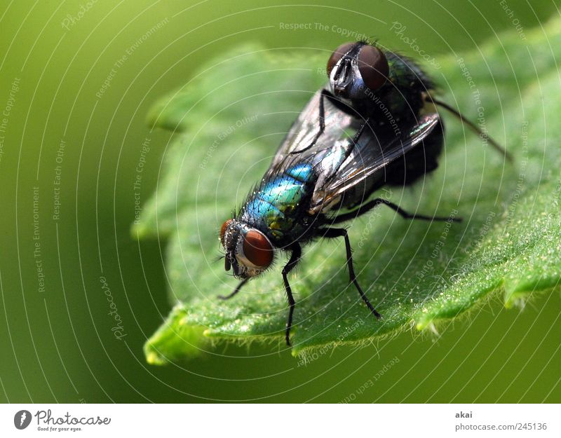 sex Plant Animal Foliage plant Fly 2 Blue Green Black Contentment Attachment Colour photo Macro (Extreme close-up) Day Shallow depth of field
