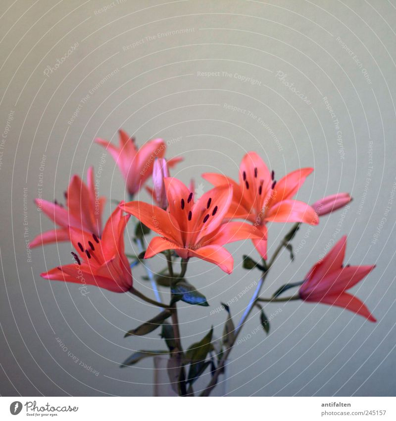 lilies Plant Flower Leaf Blossom Lily Lily plants Lily blossom Vase Bouquet Flower vase Glass Esthetic Beautiful Gray Red Orange apricot Pistil Pollen