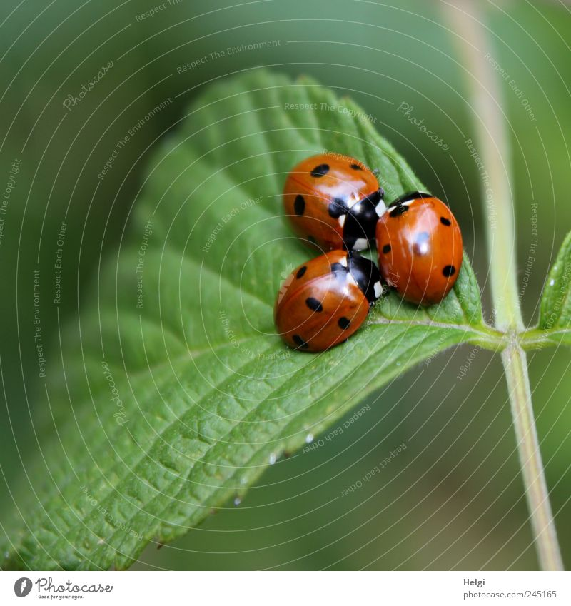 very lucky... Environment Animal Summer Beautiful weather Leaf Foliage plant Wild plant Wild animal Beetle Ladybird 3 Group of animals Crawl Sit Esthetic