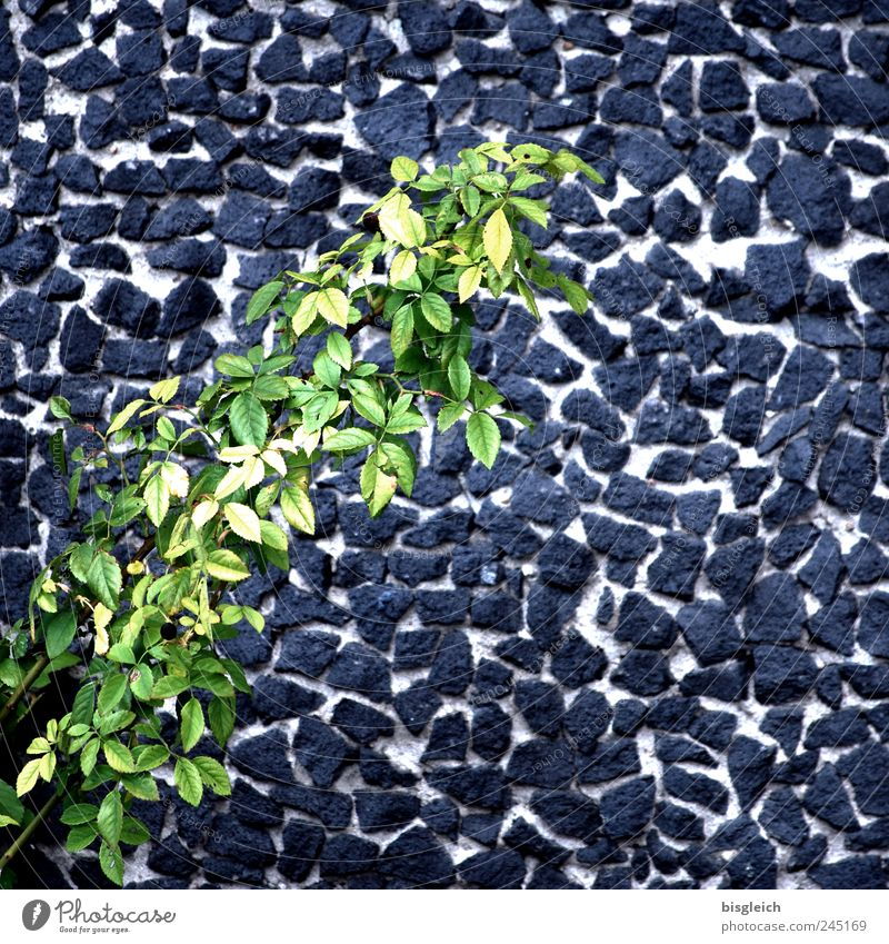wall flakes Plant Leaf Foliage plant Gray Green Wall (barrier) Wall plant Twigs and branches Stone wall Colour photo Subdued colour Exterior shot Deserted Day