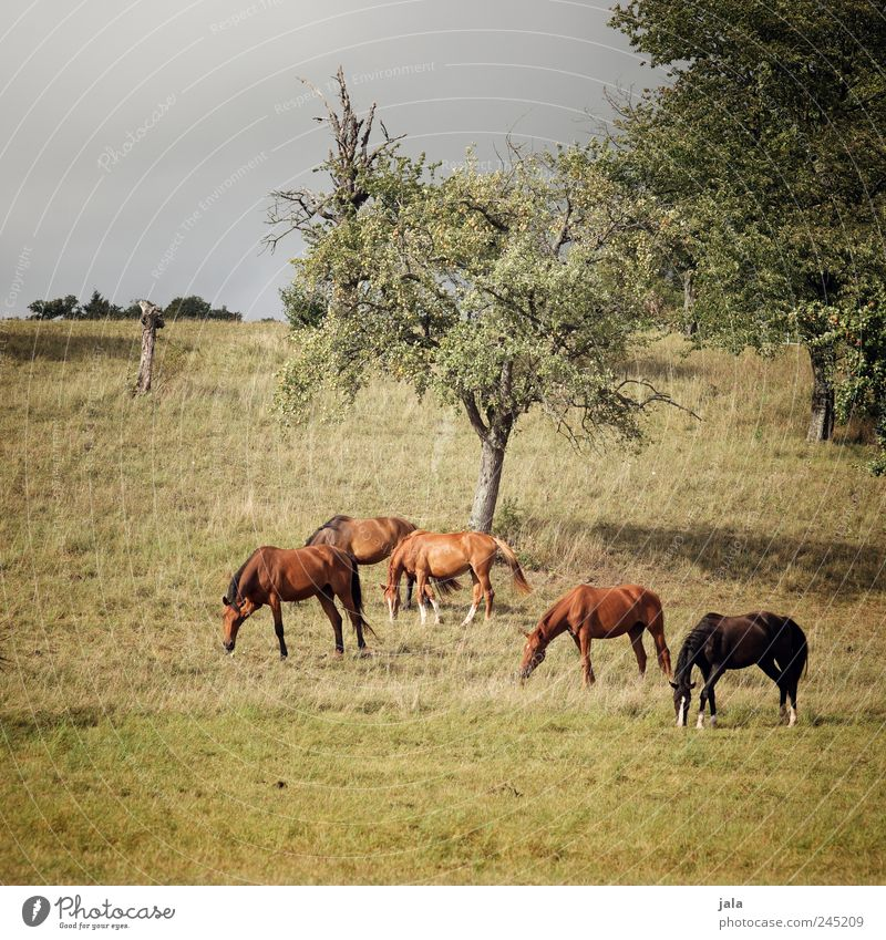 horses Environment Nature Landscape Plant Animal Earth Summer Tree Grass Foliage plant Agricultural crop Wild plant Meadow Field Farm animal Horse Herd To feed