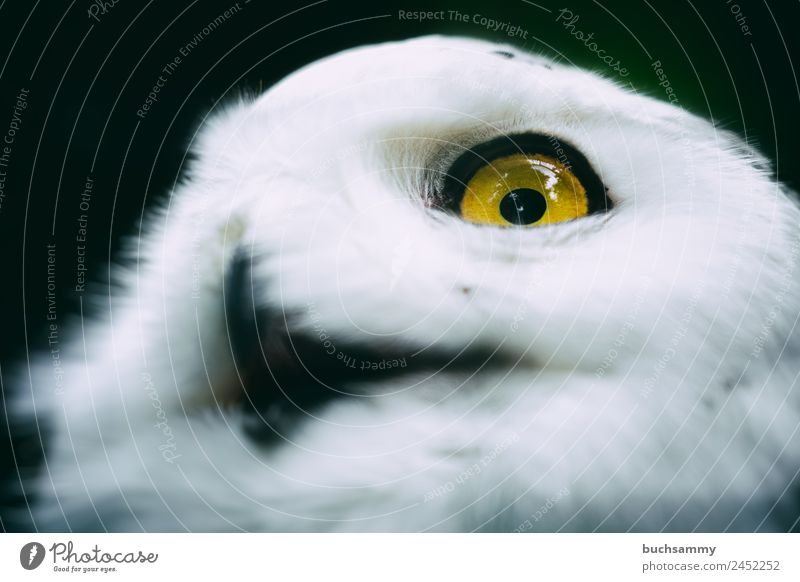 Snow Owl Nature Animal Bird Animal face Pelt 1 Painting (action, work) Hiking Yellow May Sony Center Berlin Germany Colour photo Subdued colour Exterior shot