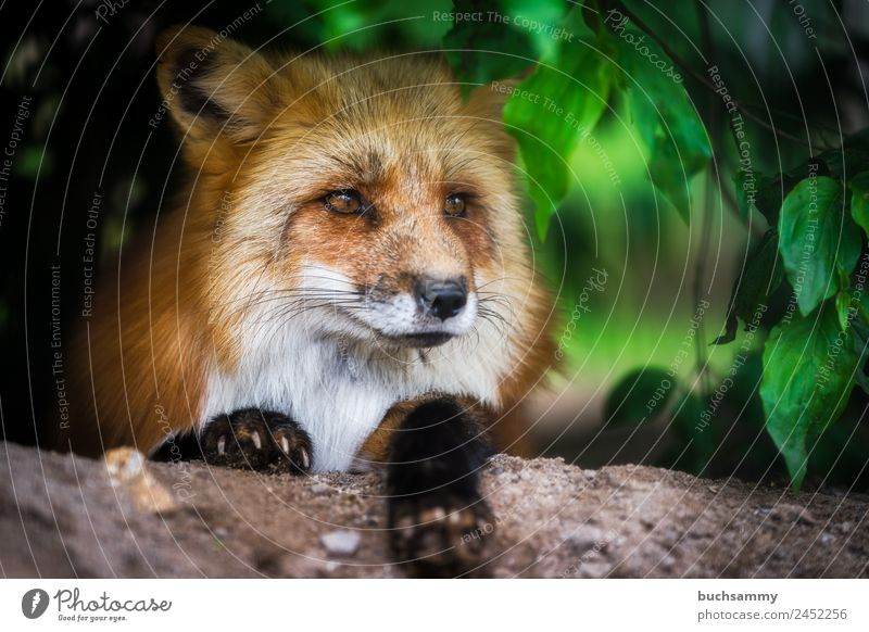 Red fox in the bushes Zoo Nature Bushes Animal Wild animal Fox 1 Lie Looking Brown Green Colour photo Exterior shot Deserted Copy Space right Day