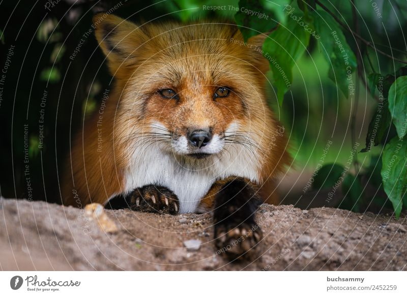red fox Animal Wild animal Animal face Pelt Claw Paw Fox 1 Smart Red Red fox Living thing Curiosity Bushes Mammal Looking into the camera Nature Free-living Lie