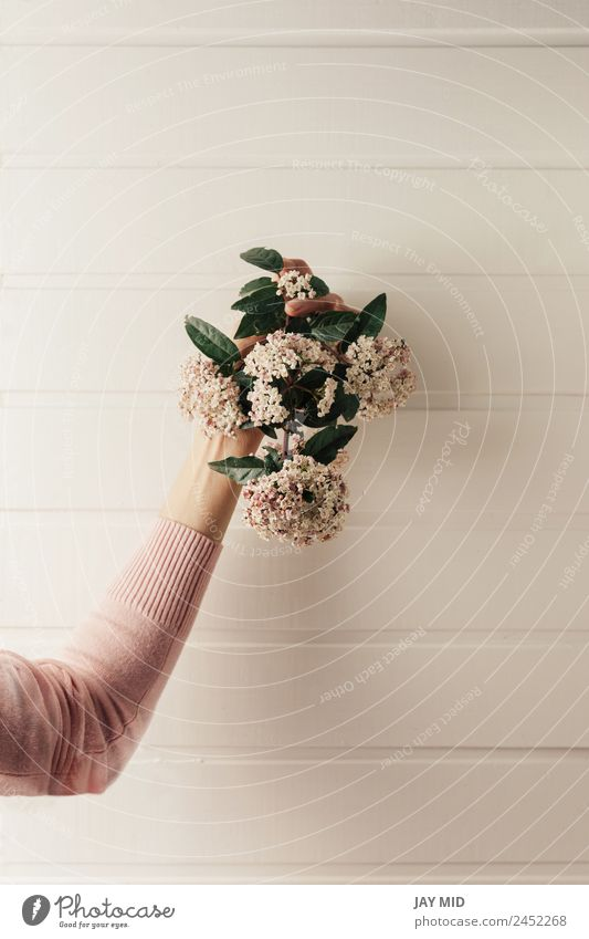 hands holding a small bouquet of pink flowers Hand Flower Hold Bouquet background Pink White Day Nature Beauty Photography Woman Floral Gift Spring time Blossom