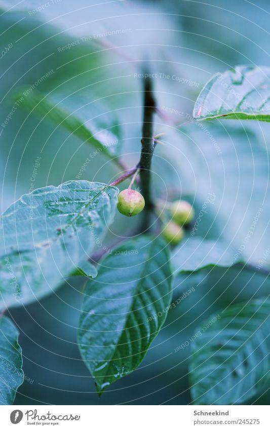 Nature Green Plant Leaf Environment Food Garden Park Rain Fruit Wet Growth Esthetic Bushes Drop Stalk