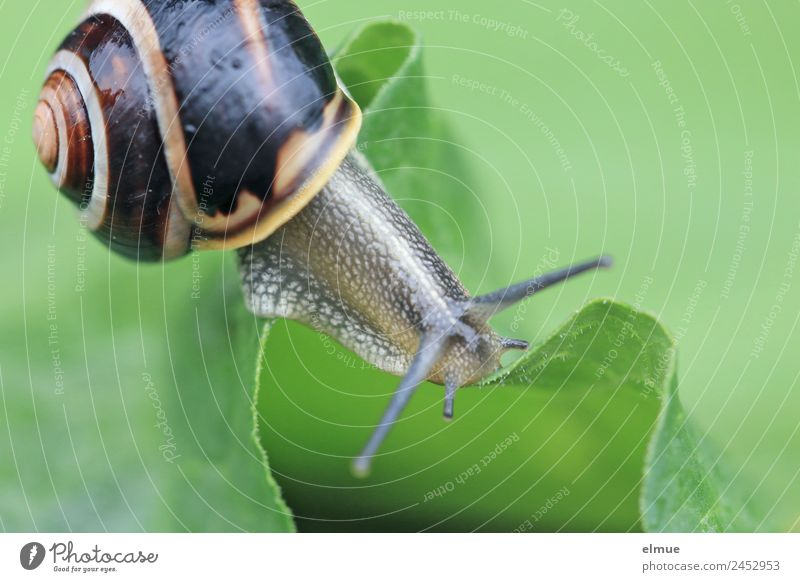 Garden snail X Leaf Wild animal Snail Feeler Goggle eyed Snail shell Mollusk Spiral Screw thread Suck-up Mountain ridge Risk Uniqueness Slimy Optimism Power