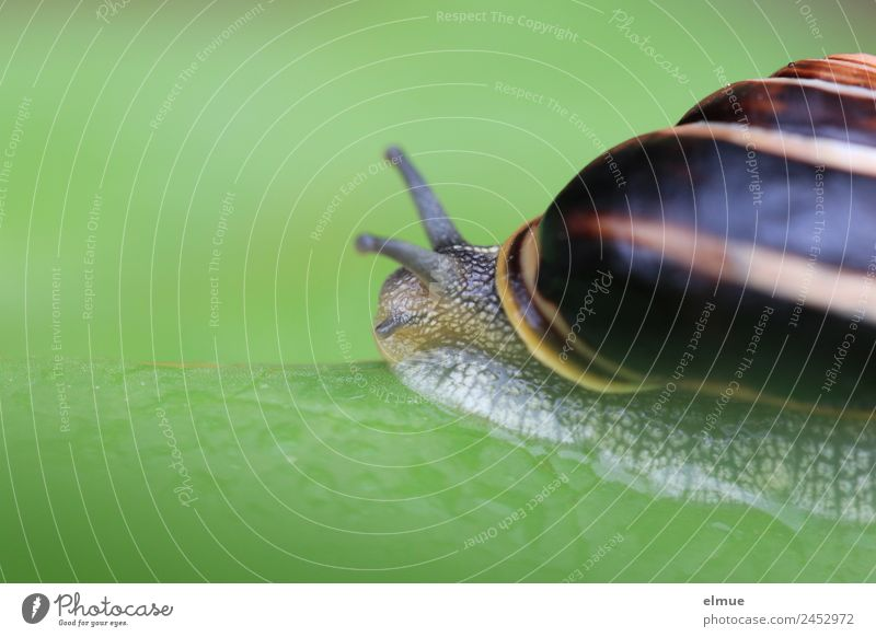 Garden snail IV Leaf Wild animal Snail Snail shell Mollusk Feeler Spiral String Suck-up sycophant Retreat emigrate Screw thread Small Slimy Power Willpower