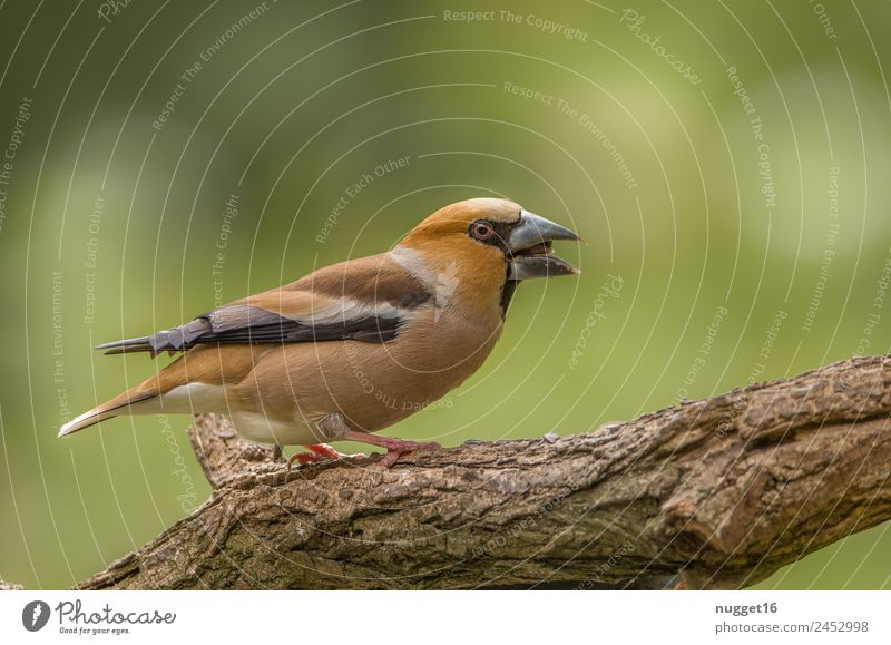 hawfinch Environment Nature Animal Sun Spring Summer Autumn Beautiful weather Plant Tree Garden Park Forest Wild animal Bird Animal face Wing Claw Hawfinch 1