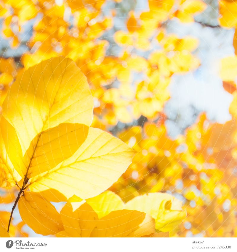 Tree Leaf Yellow Autumn Warmth Gold Beech tree