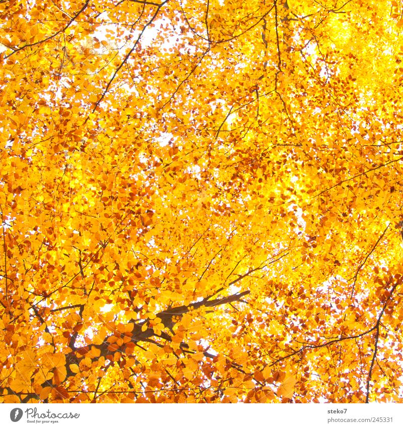 leafy sky Autumn Tree Forest Tall Warmth Yellow Gold Beech wood Colour photo Exterior shot Deserted Sunlight Worm's-eye view