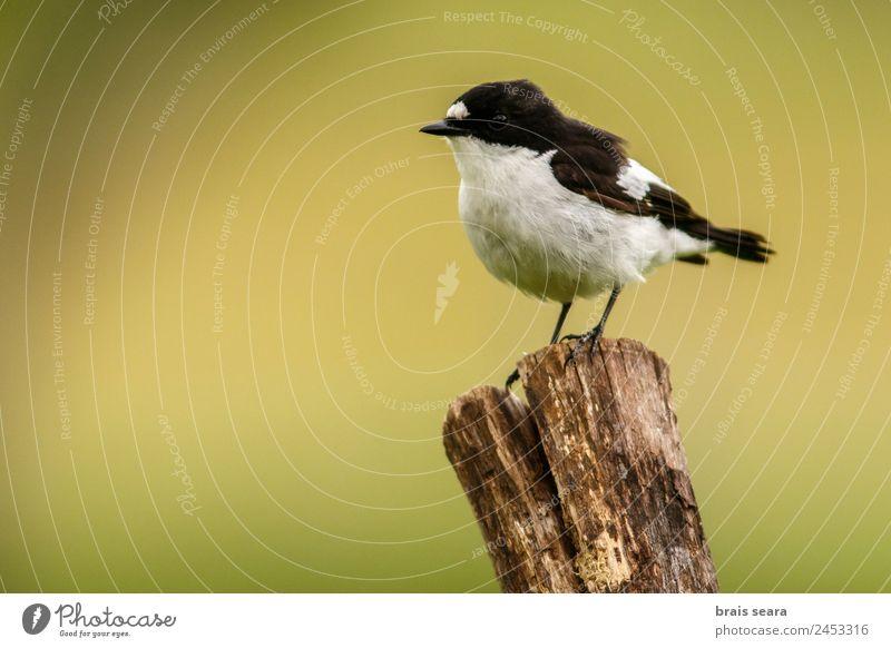 European Pied Flycatcher Tourism Safari Science & Research Biology Ornithology Biologist Masculine Environment Nature Animal Earth Wild animal Bird 1 Wood