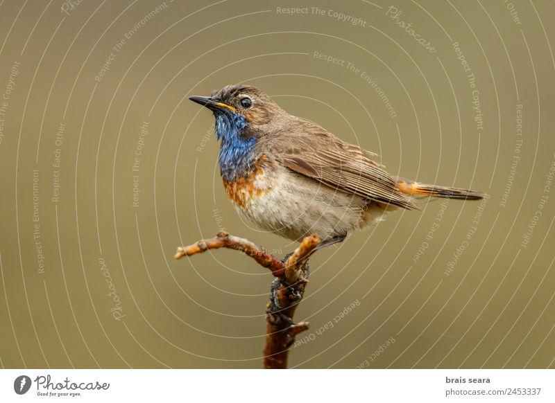 Bluethroat Ornithology Safari Biology Masculine Environment Nature Plant Animal Earth Spring Field Wild animal Bird 1 Free Love of animals