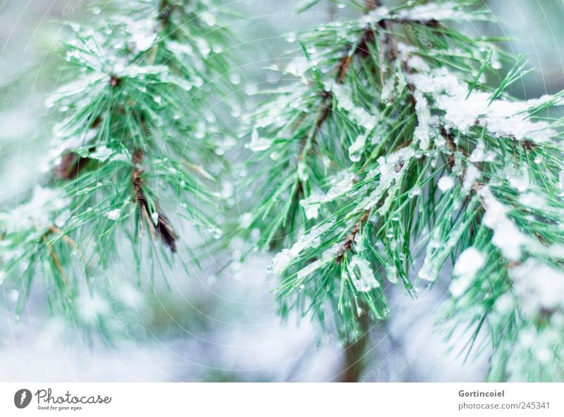 enneigée Environment Nature Winter Ice Frost Snow Tree Cold Green Twigs and branches Coniferous trees Winter forest Colour photo Exterior shot