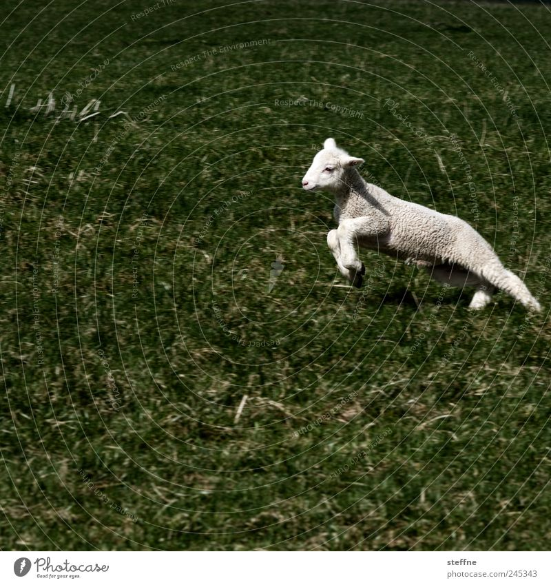 Allow me, Philip Lamm Meadow Animal Farm animal Sheep Lamb Jump Subdued colour Exterior shot Animal portrait
