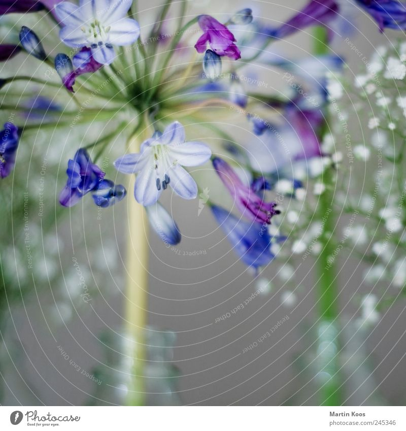 Blue flower Elegant Style Design Life Harmonious Well-being Senses Nature Plant Flower Growth Contentment Joie de vivre (Vitality) Spring fever Sympathy