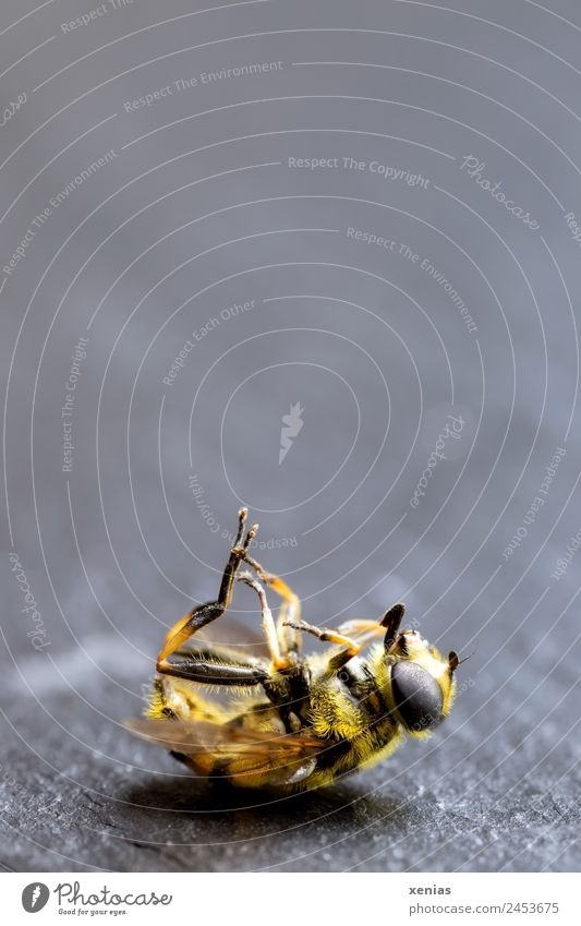 Animal Black Yellow Death Gray Lie Fly Dead animal Hover fly