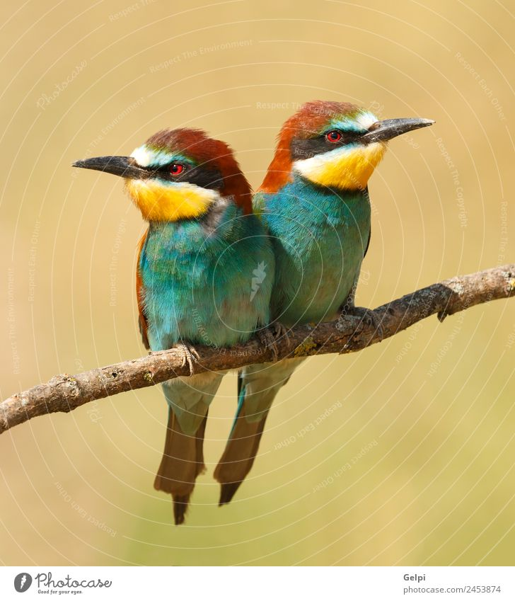 Couple of bee-eaters perched on a branch Eating Beautiful Environment Nature Animal Bird Bee Love Wild Blue Green Black White Colour wildlife colorful Thailand