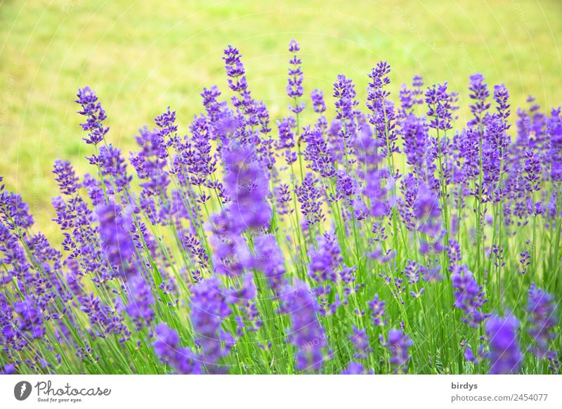 lavender Plant Summer Beautiful weather Flower Blossom Agricultural crop Lavender Garden Blossoming Fragrance Esthetic Authentic Fresh Natural Positive Yellow