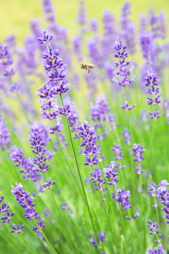 Delicious Lavender Nature Plant Animal Summer Beautiful weather Blossom Garden Bee 1 Blossoming Fragrance Flying Esthetic Authentic Positive Yellow Green Violet