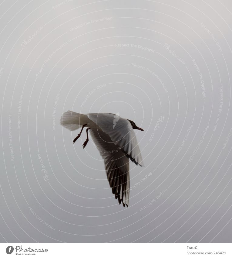 let down Sky Aviation Wing Claw Seagull 1 Animal Flying Gray Black White Relaxation Exceptional hanging wings Feather Beak Colour photo Exterior shot Day