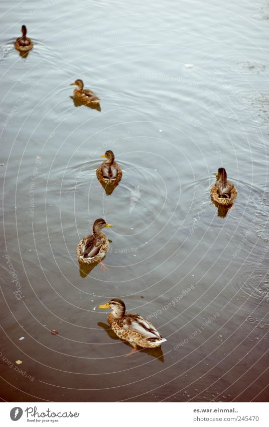 performance forgotten Water Pond Duck Swimming & Bathing Beak Colour photo Subdued colour