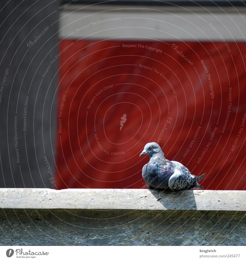 dove Animal Bird Pigeon 1 Sit Gray Red Relaxation Serene Calm Contentment Sunbathing Colour photo Exterior shot Deserted Copy Space top Day