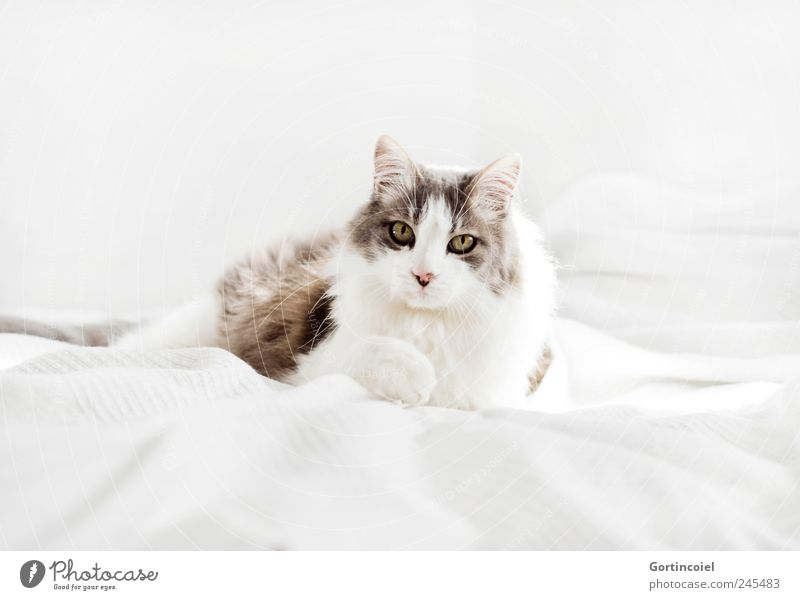hangover Animal Pet Cat Animal face Pelt 1 Bright Beautiful Domestic cat Long-haired Turkish Angora Lie Calm Love of animals Colour photo Subdued colour
