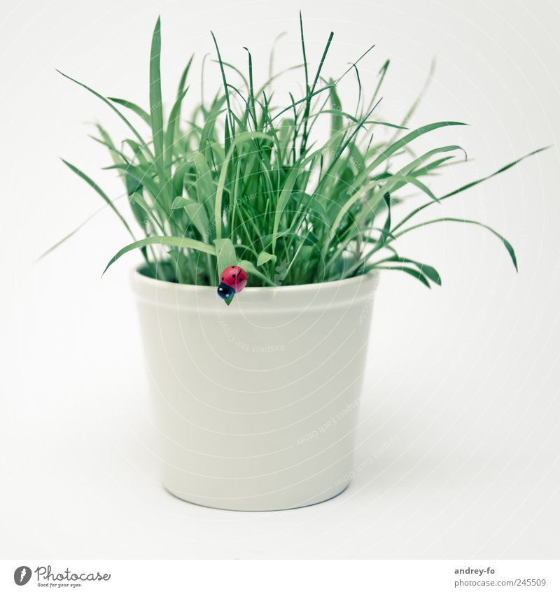 Flowerpot with ladybird Plant Grass Foliage plant Pot plant Simple Beautiful Green White Design Happy Grass green Ladybird Beetle Artificial Good luck charm