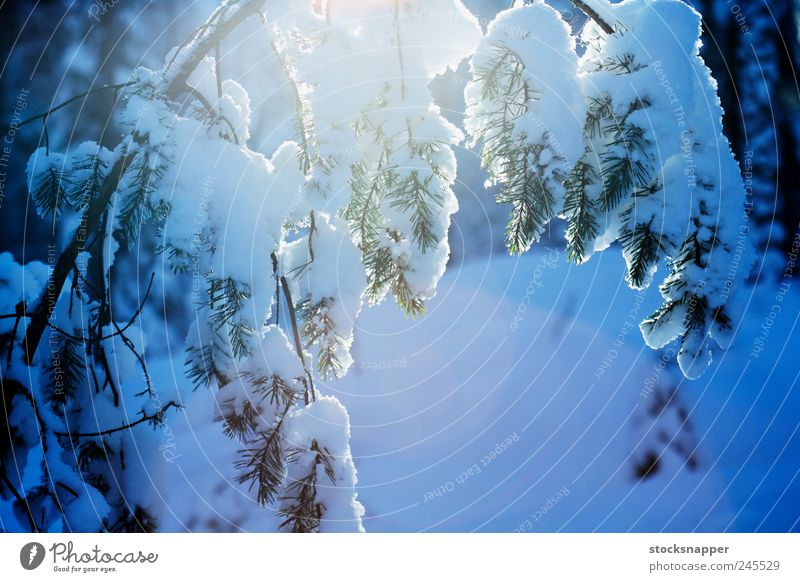 Winter Pine Nature Tree Winter Forest Cold Snow Cool (slang) Natural Branch Nordic Pine Scandinavia Finland Finnish
