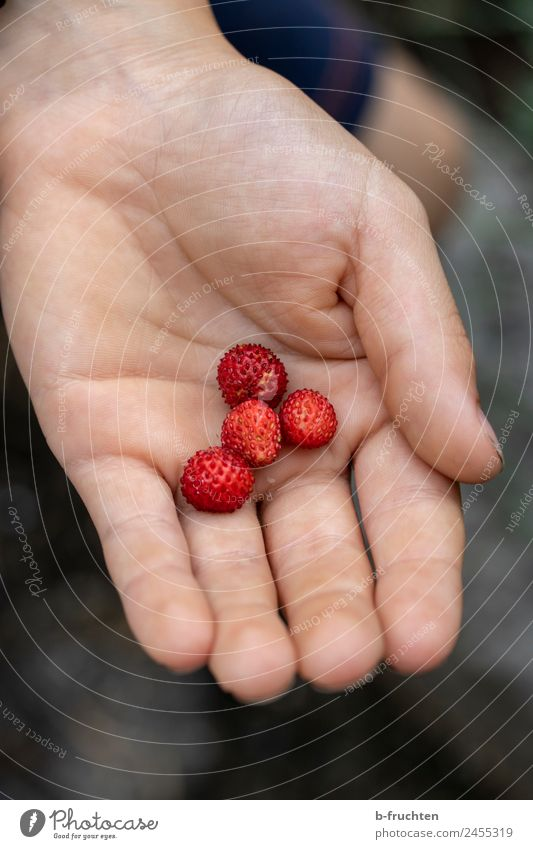 Small - but tasty Fruit Organic produce Child Hand Summer To hold on Fresh Healthy Wild strawberry Pick Mature Harvest Delicious Candy Exterior shot Close-up