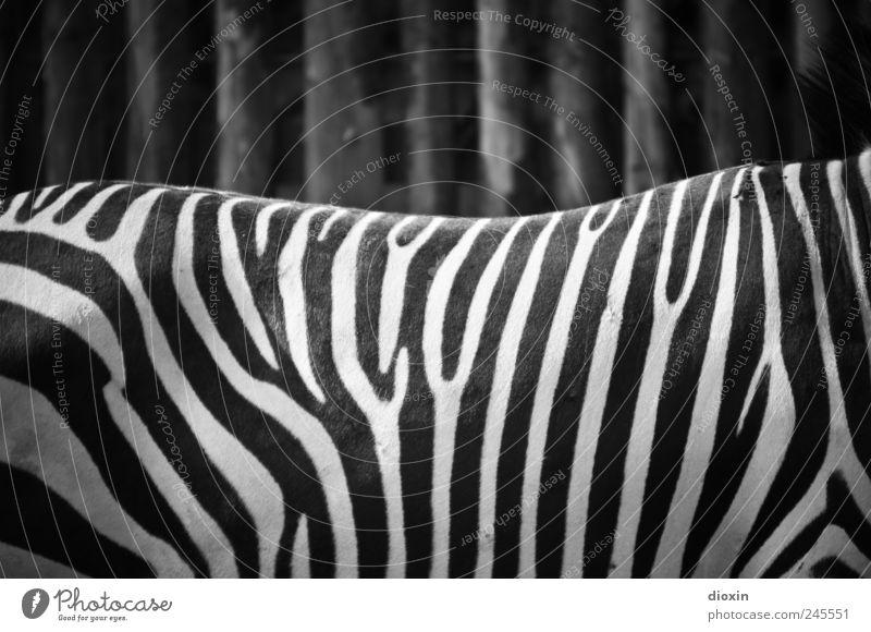 black-and-white photo Animal Wild animal Pelt Zoo Zebra 1 Stand Black White Pattern Stripe Zebra crossing Black & white photo Deserted