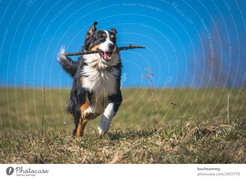Bernese Mountain Dog retrieving Animal Spring Beautiful weather Meadow Pet 1 Running Playing Athletic Speed Blue Green Black White Retrieve Stick Blue sky Joy