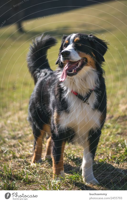 Dog breed Bernese Mountain Dog Long-haired Animal Pet 1 Looking Stand Brown Gold Black White Contentment Joie de vivre (Vitality) Purebred dog Tongue Large