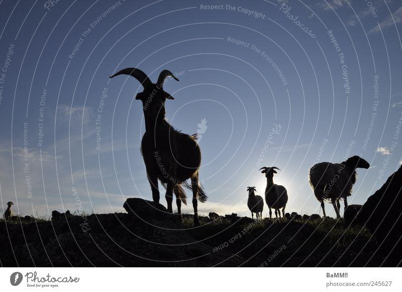 Sky Nature Vacation & Travel Sun Summer Animal Dark Horizon Rock Wild Hiking Group of animals Beautiful weather Discover Sheep Brave