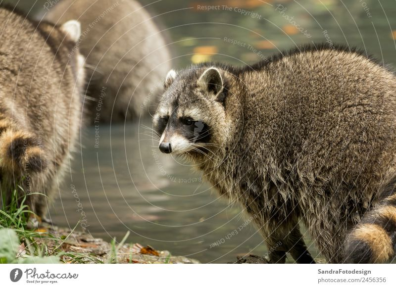 Some raccoons play outside by the water Zoo Nature Animal Water Park Wild animal 1 Love of animals mammal wildlife For natural case cute tree river pond mask