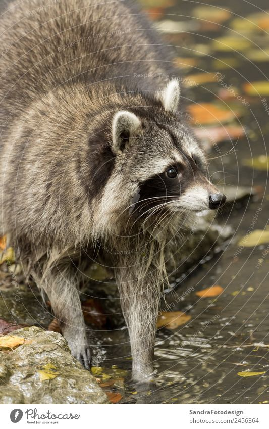 A raccoon plays outside on the water Zoo Nature Animal Water Park Wild animal 1 Love of animals mammal wildlife For natural case cute tree river pond mask