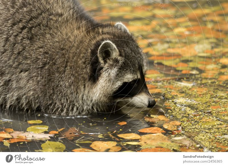 A raccoon plays outside on the water Zoo Nature Animal Water Garden Park Wild animal 1 Love of animals mammal wildlife For natural case cute tree river pond