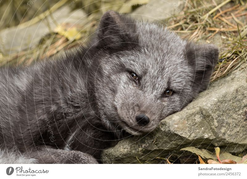 A young polar fox rests on a rock Baby Zoo Nature Animal Garden Park Wild animal 1 Baby animal Love of animals For mammal Arctic wildlife northern close puppy