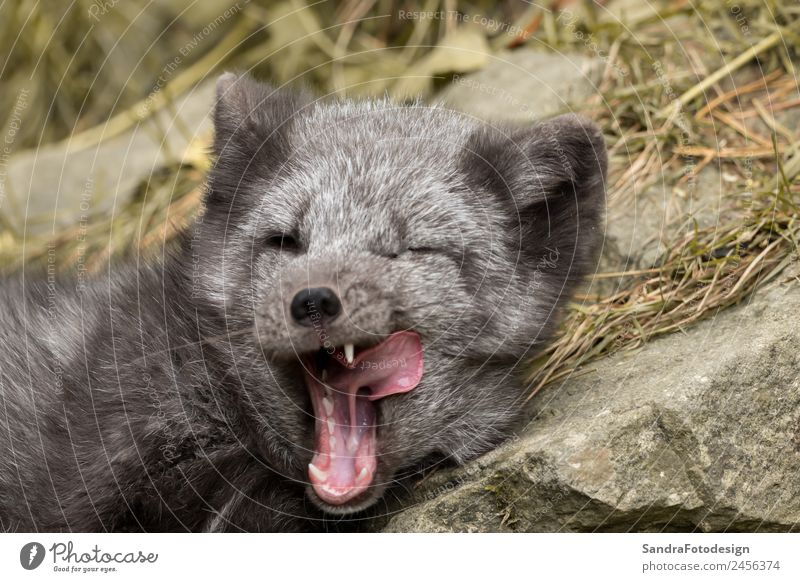 A polar fox lies on a rock and yawns Baby Zoo Nature Animal Garden Park Wild animal 1 Baby animal Love of animals For mammal Arctic young wildlife northern