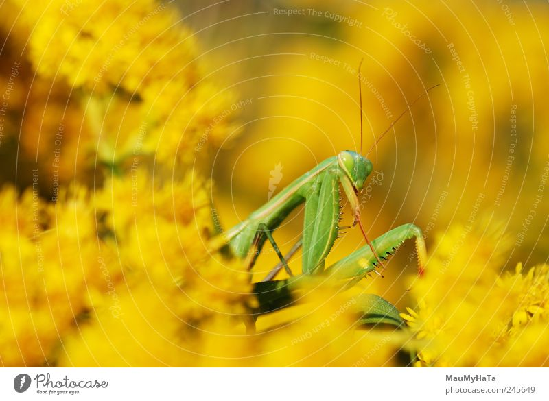 Mantis Nature Plant Animal Summer Flower Grass Leaf Blossom Garden Park Movement Looking Playing Aggression Authentic Hot Yellow Gold Green Colour photo