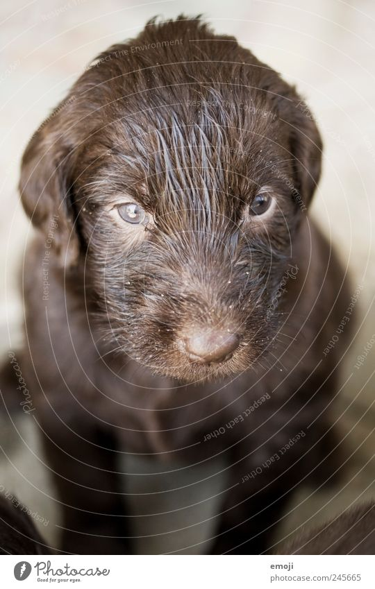 no cat Pet Dog 1 Animal Baby animal Small Brown Puppy Snout Cute Wait Tense Watchfulness Puppydog eyes flat coated retriever district Purebred dog Colour photo