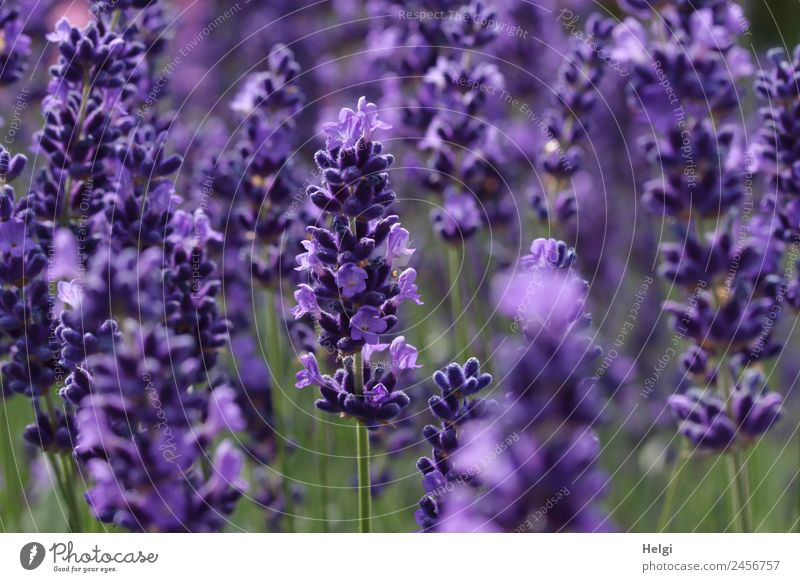 timeless | lavender scent Environment Nature Plant Summer Beautiful weather Blossom Lavender Park Blossoming Fragrance Growth Natural Green Violet Esthetic