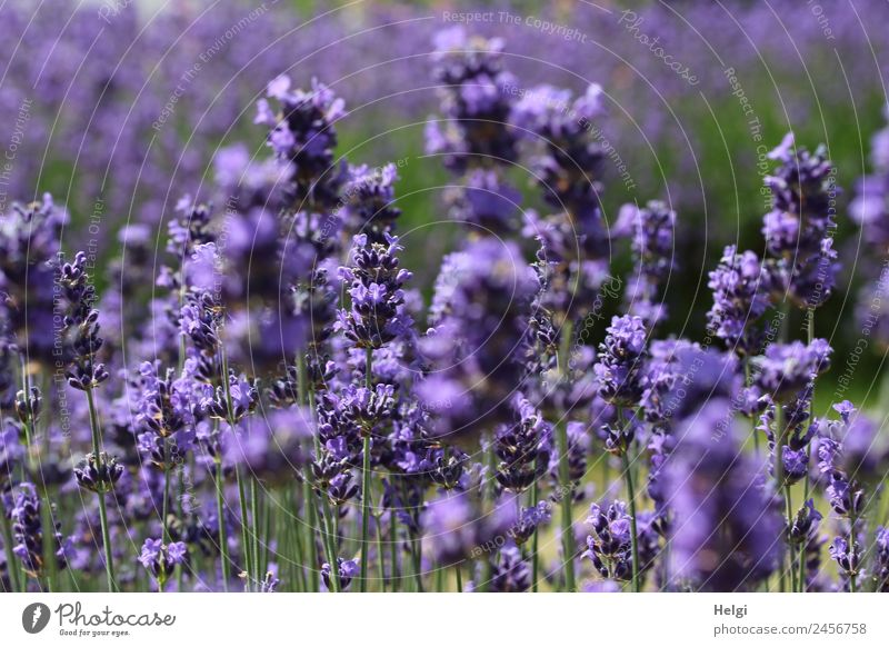 timeless | lavender scent II Environment Nature Plant Summer Beautiful weather Flower Blossom Lavender Park Blossoming Fragrance Stand Growth Esthetic Natural