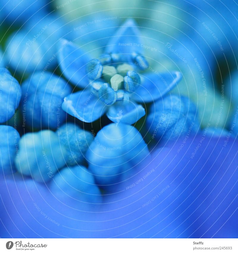 blue flowering hydrangea Hydrangea Blue Hydrangea blossom Blue flower Plantlet Blossom come into bloom differently Deploy Blossoming flowering flower