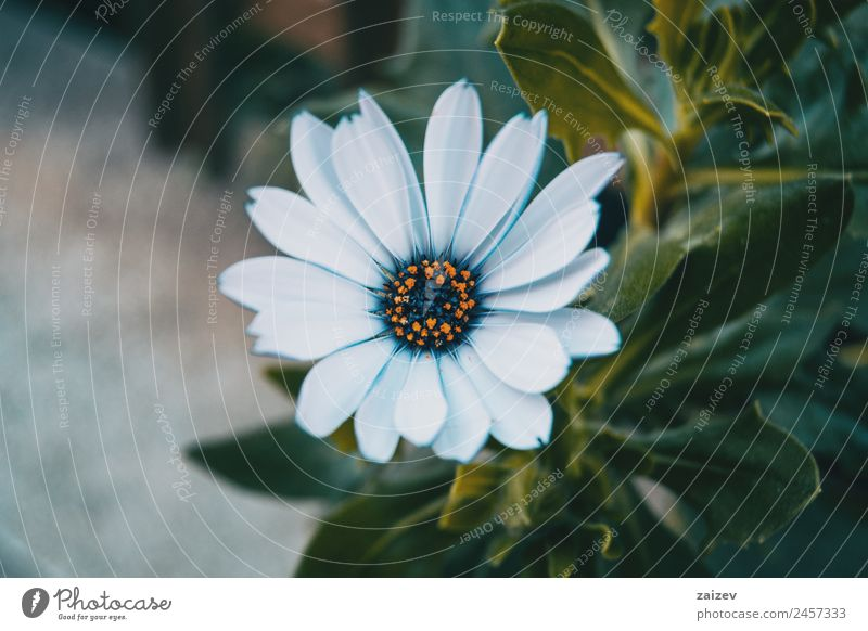 Close-up of an isolated white flower of osteospermum ecklonis in nature Summer Garden Wallpaper Environment Nature Plant Flower Bushes Leaf Blossom Wild plant