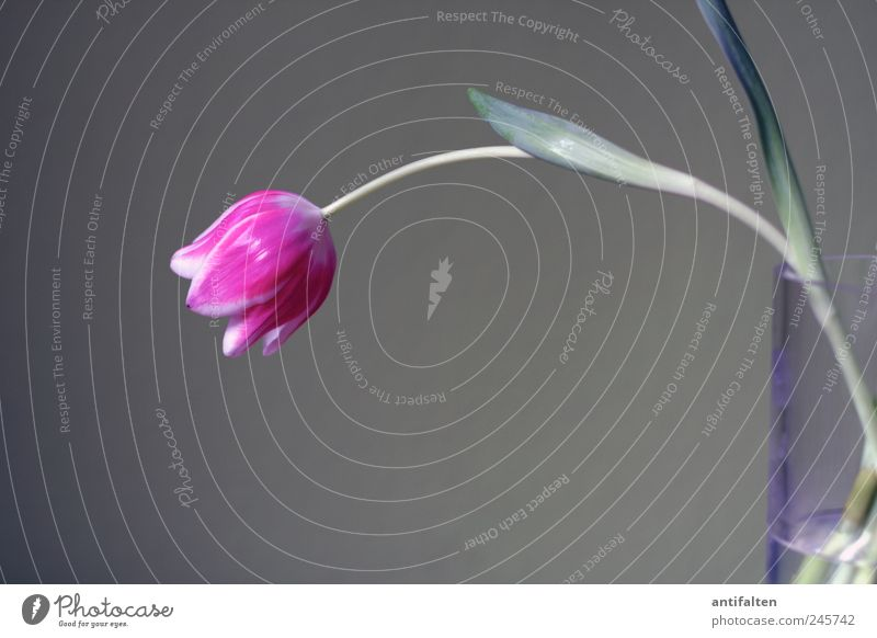 The pink tulip Nature Plant Flower Tulip Leaf Blossom Decoration Flower vase Vase Glass Water Fragrance Beautiful Gray Pink Still Life Gloomy Stalk Calyx